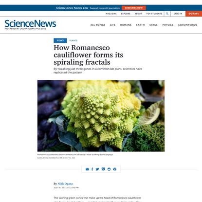 How Romanesco cauliflower forms its spiraling fractals