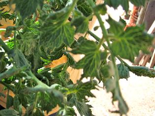 tomato-leaf-herbicide-damage.jpg