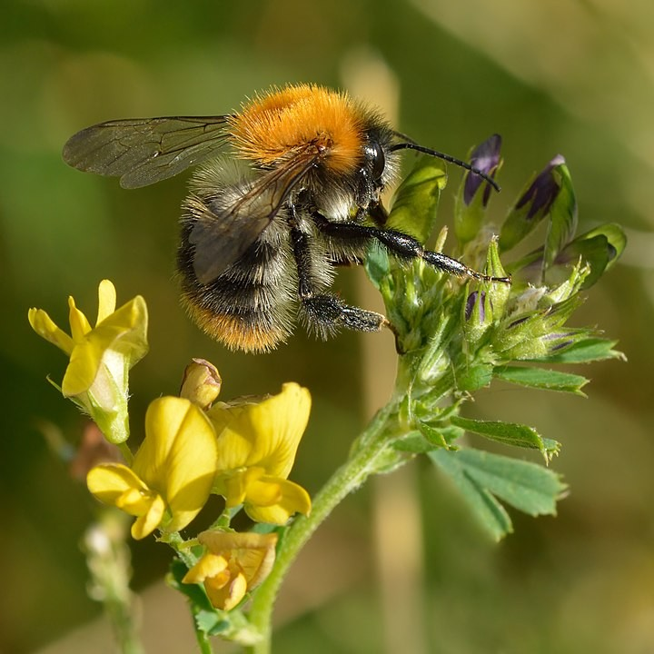 Common Carder Bumblebee?
