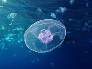 Google Image Result for https://upload.wikimedia.org/wikipedia/commons/2/27/Moon_jellyfish_at_Gota_Sagher.JPG