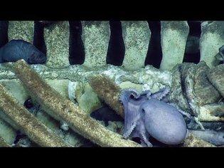 Baleen Whale Fall Becomes a Deep Sea Banquet at Davidson Seamount   Nautilus Live