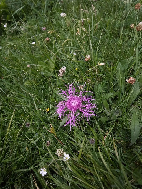 Centaurea uniflora?