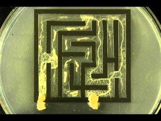 Slime mold solving maze
