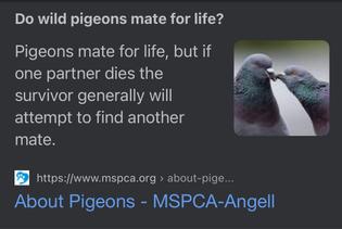 pigeons love 🥺