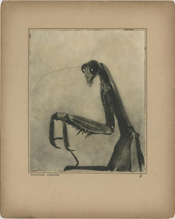 J.C. Fardon, Praying Mantis, c. 1940s. vintage gelatin silver print, 13 x 10 1/2 inches on a 20 x 16 inch mount. Signed and titled on the mount recto.