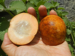 Santol can be pickled whole