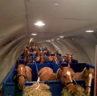 Horses in an airplane
