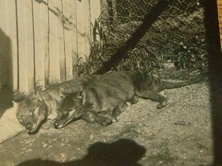 Sunbathing thylacines. Source/date unknown.