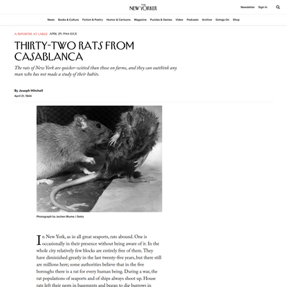 Thirty-two Rats From Casablanca