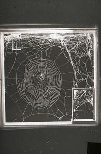 Dr. Peter N Witt – Web Argiope aurantia, Araneus diadematus