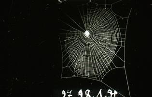 Dr. Peter N Witt – Web Zygiella-x-notata