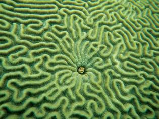 brain-coral-1.jpg