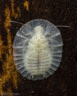 Lanxoblatta-rudis-molted-nymph.jpg