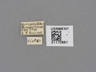 USNMENT01172887_Triorla_striola_label.jpg