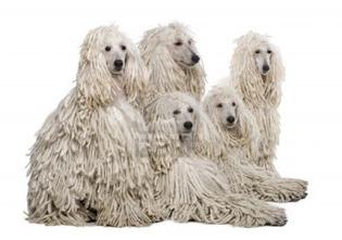 7251433-white-corded-standard-poodle-against-white-background.jpg