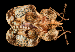Lace Bug, MD, PG County_2013-08-20-16.56.18 ZS PMax