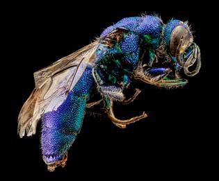Chrysidid Wasp, U, Side, UT, Utah Co_2013-08-07-17.51.41 ZS PMax