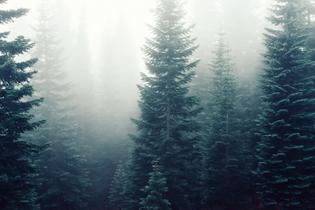 forest-trees-fog-foggy.jpg