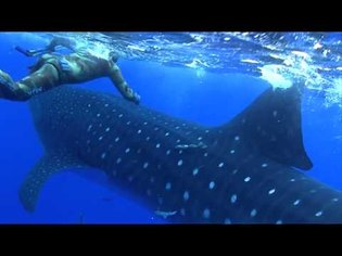 Insane Whale Shark Crash Attack!