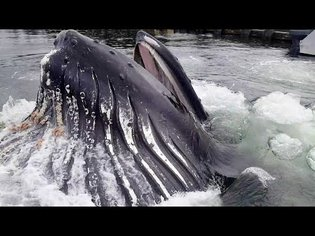Humpback Whale Breaches Surface By Docks