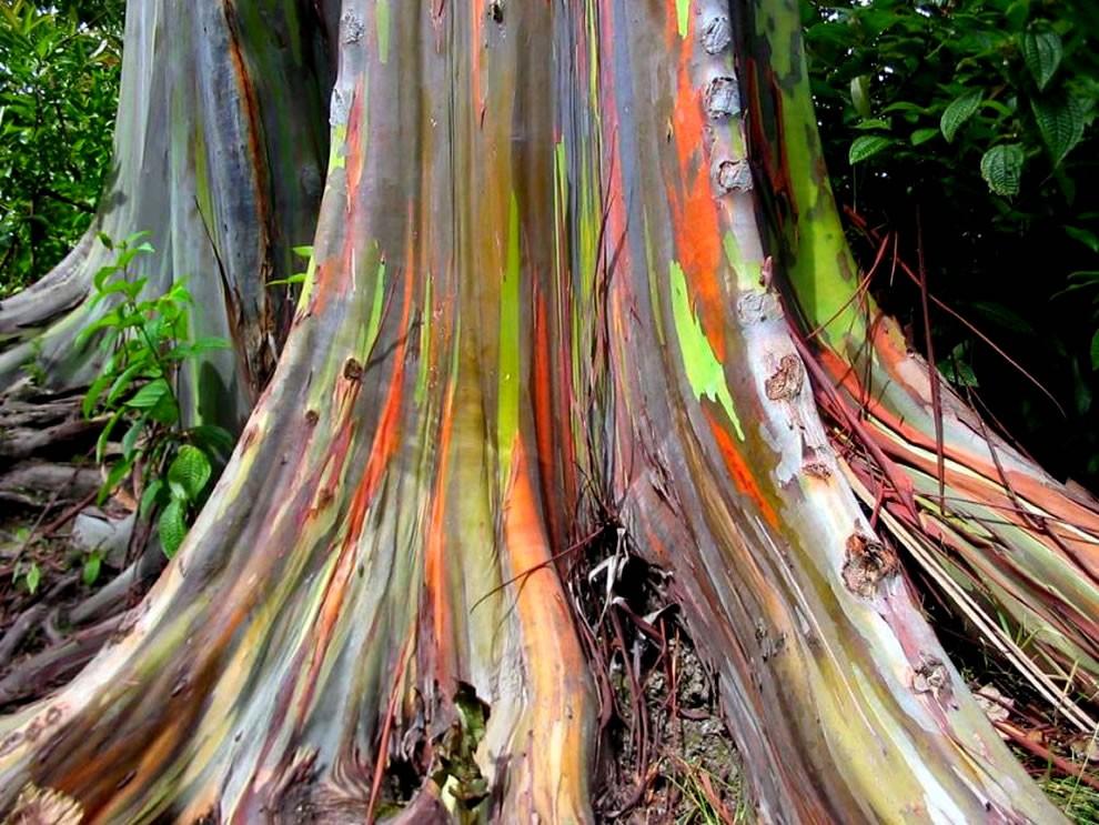 Trunk-of-rainbow-eucalyptus-trees-growing-along-the-Hana-Highway.jpg