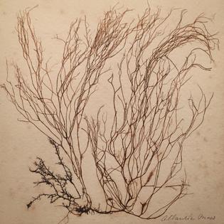 19th century Pressed Sea Moss