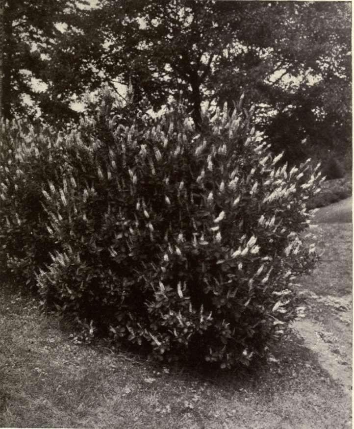 Clethra alnifolia - Sweet Pepperbush