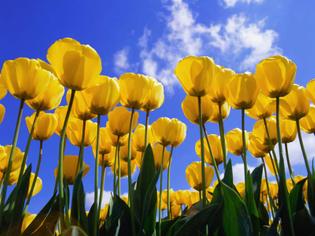 windows-xp-desktop-background-wallpaper-tulips-800x600.jpg