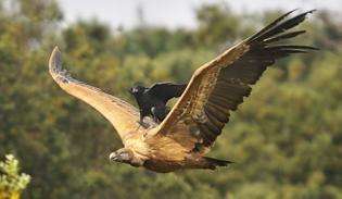 crow-on-hawk-big.jpg
