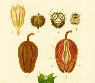 Turpin 1819 Fruits Graines, planche botanique
