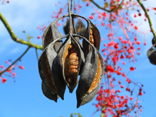 seed-capsules-flame-tree-hanging-native-to-australia-set-against-blue-sky-its-flowering-branches-background-36154407.jpg