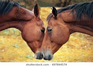 horse-love-tenderness-260nw-497844574.jpg