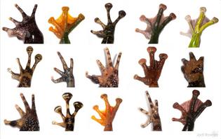 The diversity of frog hands