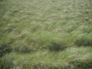 Grasses_in_the_Valles_Caldera_2014-06-26.JPG