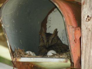 screech-owl-2810-29.JPG