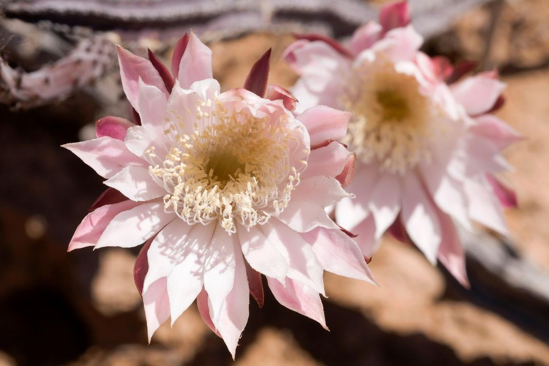 pink_peniocereus_greggii_new_mexico.jpg