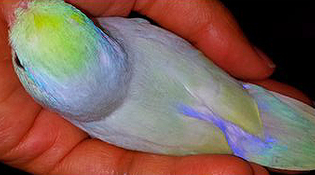 turquoise-dilute-parrotlet-.jpg