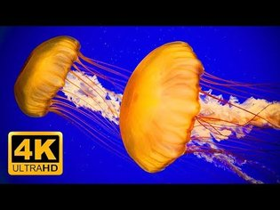 4K Soothing Jellyfish Aquarium for Relaxation - Sleep Relax Meditation Music 2 Hours UHD Screensaver