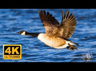 4k Peaceful Lake Sounds & Relaxing Piano Music 🐦 Canadian Goose, Swans and Seagulls 2 hours 4K UHD