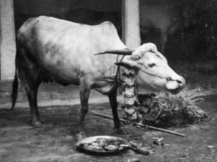 cow-lakshmi-on-pongal-day_2_-p-1-large-.jpg