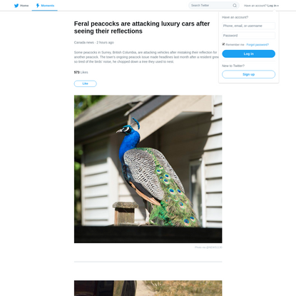 Feral peacocks are attacking luxury cars after seeing their reflections