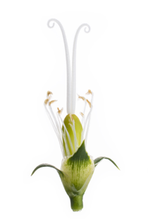 1504_shoot-w-nick-demilio-carnation-reproductive-organs.jpg