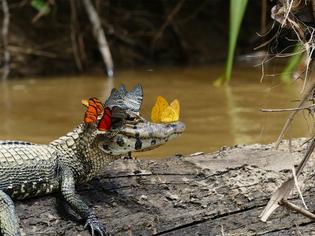 A Caiman Wearing a Crown of Butterflies (photos by Mark Cowan)