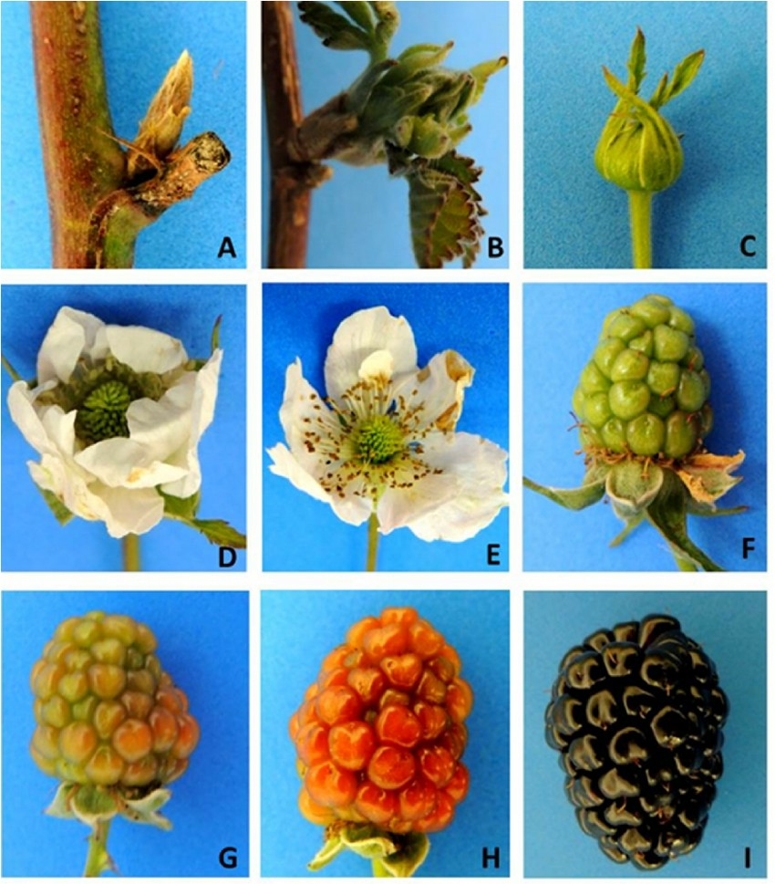 phenological-stages-of-blackberry-fruit-development-a-dormant-buds-b-bud-sprouting.png