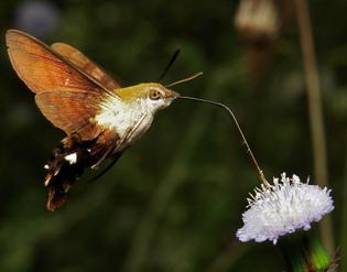hummingbird-hawk-moths.jpg