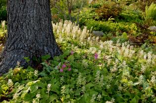 tiarella-cordifolia.jpg
