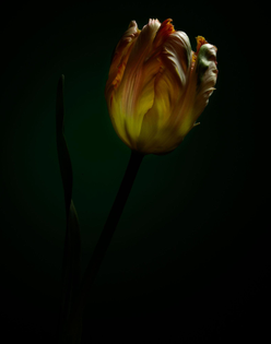 111808_test_tulip_00038-2.jpg