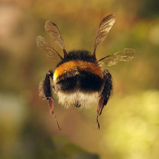bumblebee-butt7.jpg