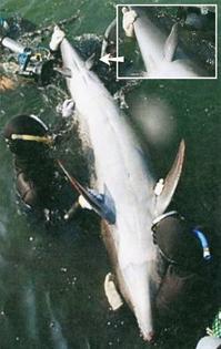 abb-12-ein-delphin-der-2006-vor-der-japanischen-kueste-gefangen-wurde-hat-neben-den.jpg