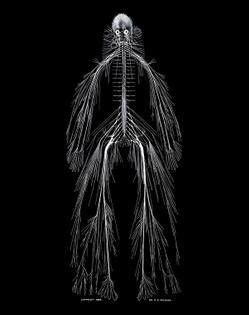 Cerebro-spinal-nervous-system600.jpg